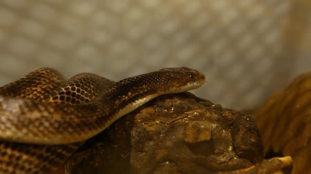Close up on a gray ratsnake moving through his terrarium with blurry background - shoulder camera