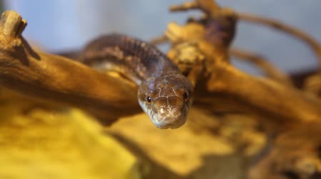 driftwood : Close up on a gray ratsnakes head looking straight in the camera with blurry background - slow traveling up