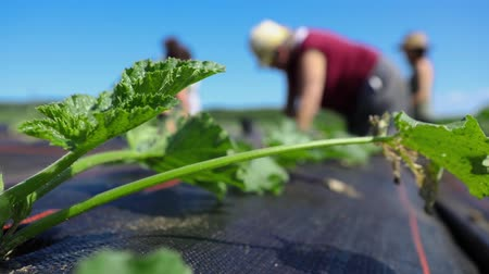 Young squash plants are seen close-up on a biological farm, with blurred volunteers working on ground cover membrane in the background beneath a clear blue sky.