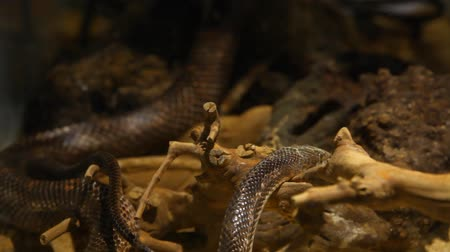 боа : Close up on a gray ratsnake enjoying being pet by a blurry hand in the background - fixed angle