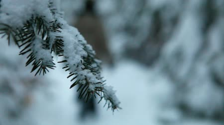 Close up on a spruce branch covered in snow with a blurry man walking by in the forest, seen from behind, in the wintertime Stock Footage