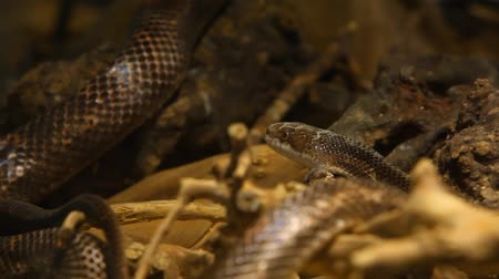 боа : Close up on a gray ratsnake enjoying some light from its terrarium - traveling up, follow focus