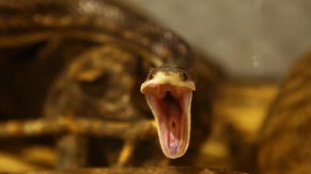 boa : Close up on a gray ratsnakes head yawning and looking straight in the camera with blurry background - fixed angle, shoulder camera
