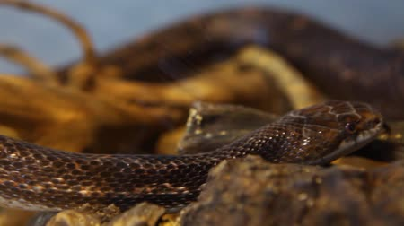 driftwood : Close up on a gray ratsnake moving through his terrarium with blurry background - panning right