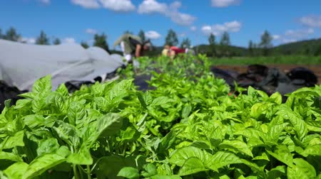 yem : Healthy green basil plants are viewed up-close on an organic farm during harvest season, blurry farmhands are seen tending to crops in the background.