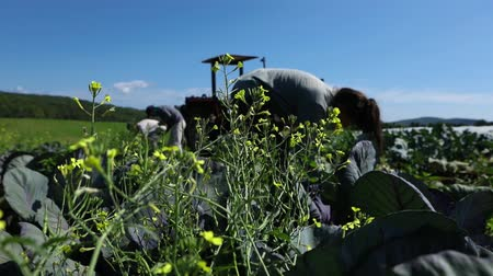 A group of people are seen helping out on a local organic farm on a beautiful sunny day, harvesting bio-friendly vegetables for a farmers market.