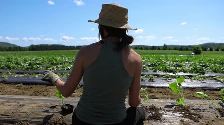 A close up and rear view of a young farmer woman at work, kneeling in a large open field and planting young crops through weed suppressant membrane.