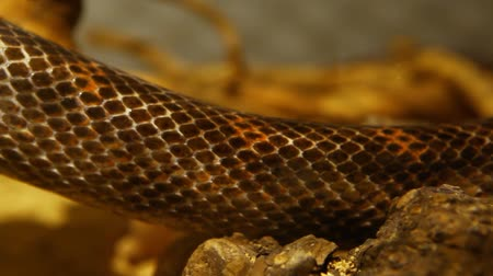 retorcido : Close up on a gray ratsnakes body slowly moving through his terrarium with blurry background - panning right