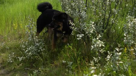 hűség : A big happy, black and brown dog coming home from a walk and swim rolls in the long grass to dry off before being distracted by a tennis ball