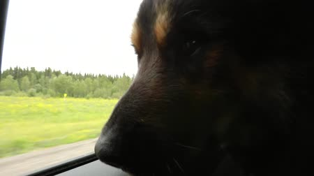 çoban köpeği : A big furry dog with his head out the window of the car on a country road. The dog has German Shepherd coloring and it filmed from inside the car