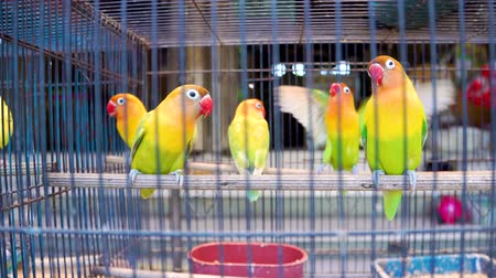 influenzy : Lovebirds parrots in cell. Colorful birds in the pet market.