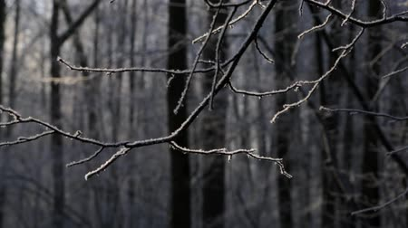 иней : Winter forest, in calm weather, the snow falls, the snow on the branch