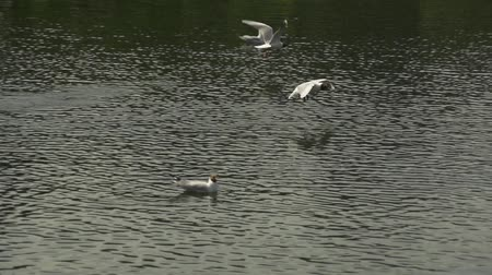 Slow motion flying seagulls over water background