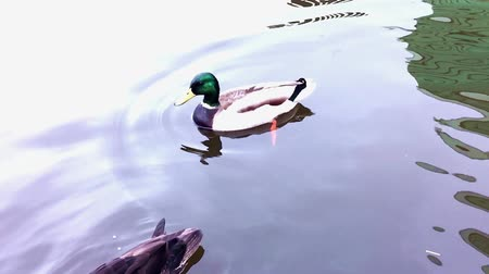 protesto : Duck says no in slow motion. Vídeos