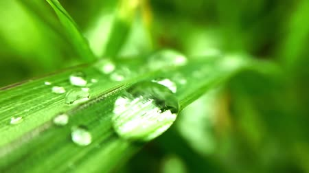 kapička : A drop of dew rocking on a leaf of grass.