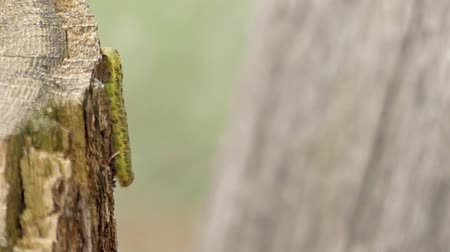 застежка : Green Caterpillar Creeps Close Up. the Action in Slow Motion.