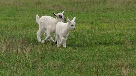 mother cow : Funny Little Goats Playing on the Field and Jumping. Slow Motion.
