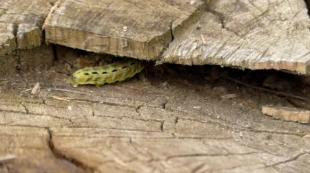 зелень : Green Caterpillar Creeps Close Up. the Action in Slow Motion.