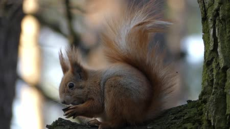 sciurus vulgaris : Red squirrel sits on tree and eats nuts. The action in real time. Stock Footage