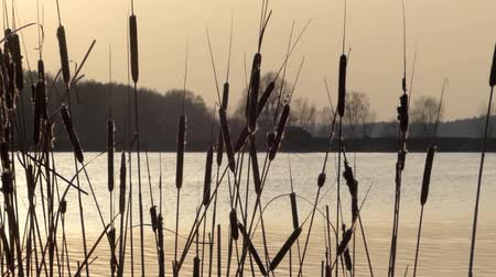 duck : Wild reeds swaying in the wind on the lake during sunset. Middle shot. Stock Footage