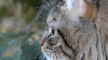 gato selvagem : Wildcat in the forest. Side view of his face. The action in real time. Close up shot. Vídeos