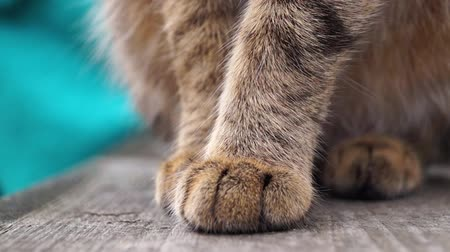 gato selvagem : Close up shot of paws cat.