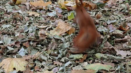 sciurus vulgaris : A red squirrel took the nut from hand and ran away. Stock Footage