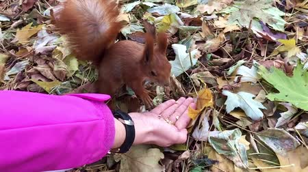 gnawer : A red squirrel eats the nuts with hands in the forest in slow motion close up. Stock Footage