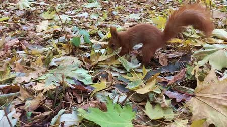 squirel : red squirrel in the Park buries the nut Stock Footage