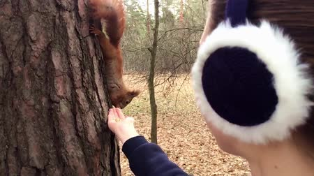 sciurus vulgaris : Red squirrel take a nut from the hand and then eating it hanging on the tree.