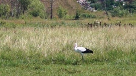 small heron : One stork in the field. Walking and standing. Stock Footage