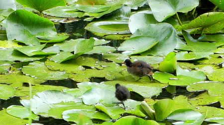 bird family : Water Birds Running on the Leaves of Lily and Eating. Stock Footage