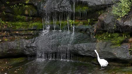 vida selvagem : White Swan and Waterfall. Vídeos
