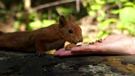 palm squirrel : Cute Frame: Red Squirrel Takes a Nut From Hand. the Action in Real Time. Stock Footage