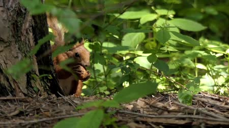 žalud : Squirrel Hides in the Leaves and Eats a Nut. the Action in Slow Motion.