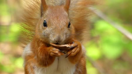 белка : Beautiful Close up Shot in the Forest. Red Squirrel Eats a Nut. the Action in Real Time.
