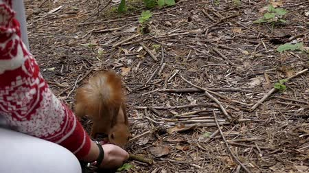 chipmunk : Red Squirrel in Slow Motion Takes a Nut the Girl Out of Hand. the Action in the Forest. Stock Footage