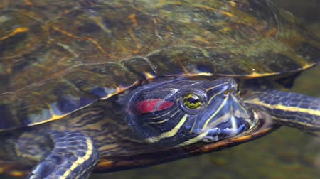 scripta : Red-Eared Slider Turtle Floats in Water. Beautiful Action.