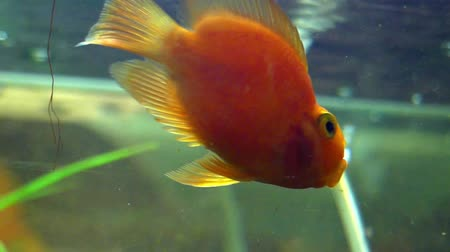 rocks red : Goldfish Swimming in the Aquarium. the Action in Real Time.