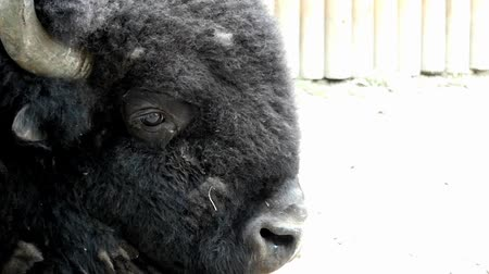 manges : Buffalo Head Close up in Slow Motion. Beautiful Shot. Stock Footage