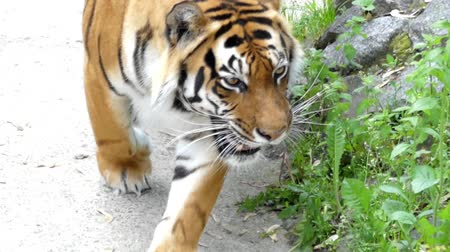 pawed mammal : Beautiful Tiger Walks Through the Woods. Close up Shot. the Action in Real Time. Stock Footage