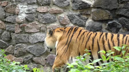 pawed mammal : Graceful Gait of a Tiger in Slow Motion. Beautiful Action.