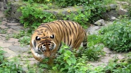 pawed mammal : the Tiger Rests and Then Jumps up and Runs. the Action in Real Time. Stock Footage