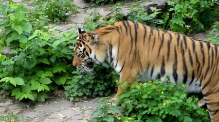 kaplan : the Tiger Rests and Then Jumps up and Runs. the Action in Real Time. Stok Video