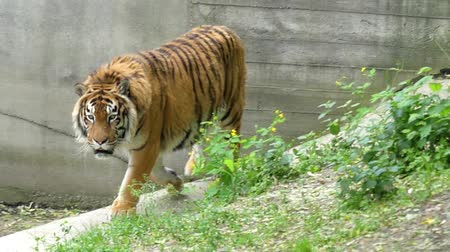 pawed mammal : Graceful Gait of a Tiger in Slow Motion.