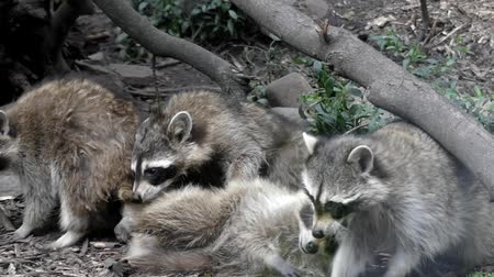 raccoon : a Family of Raccoons Playing in the Zoo. Frame Taken From Behind the Glass. the Action in Slow Motion.