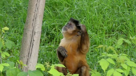 majom : Funny Action: a Monkey Scratches His Head in Slow Motion. Stock mozgókép