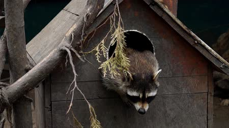 raccoon : Raccoon Peeking Out From the Wooden House. the Action in Real Time. Stock Footage