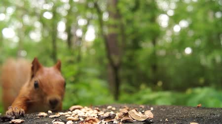 deterioration : the Red Squirrel Jumps on a Tree Stump and Starts to Eat the Nut. the Action in Real Time in the Forest.