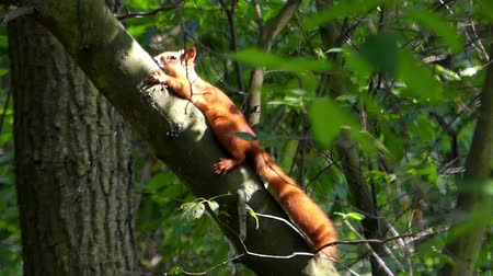 elusive : Red Squirrel in the Woods Climbing Tree. Focus. Beautiful Nature.